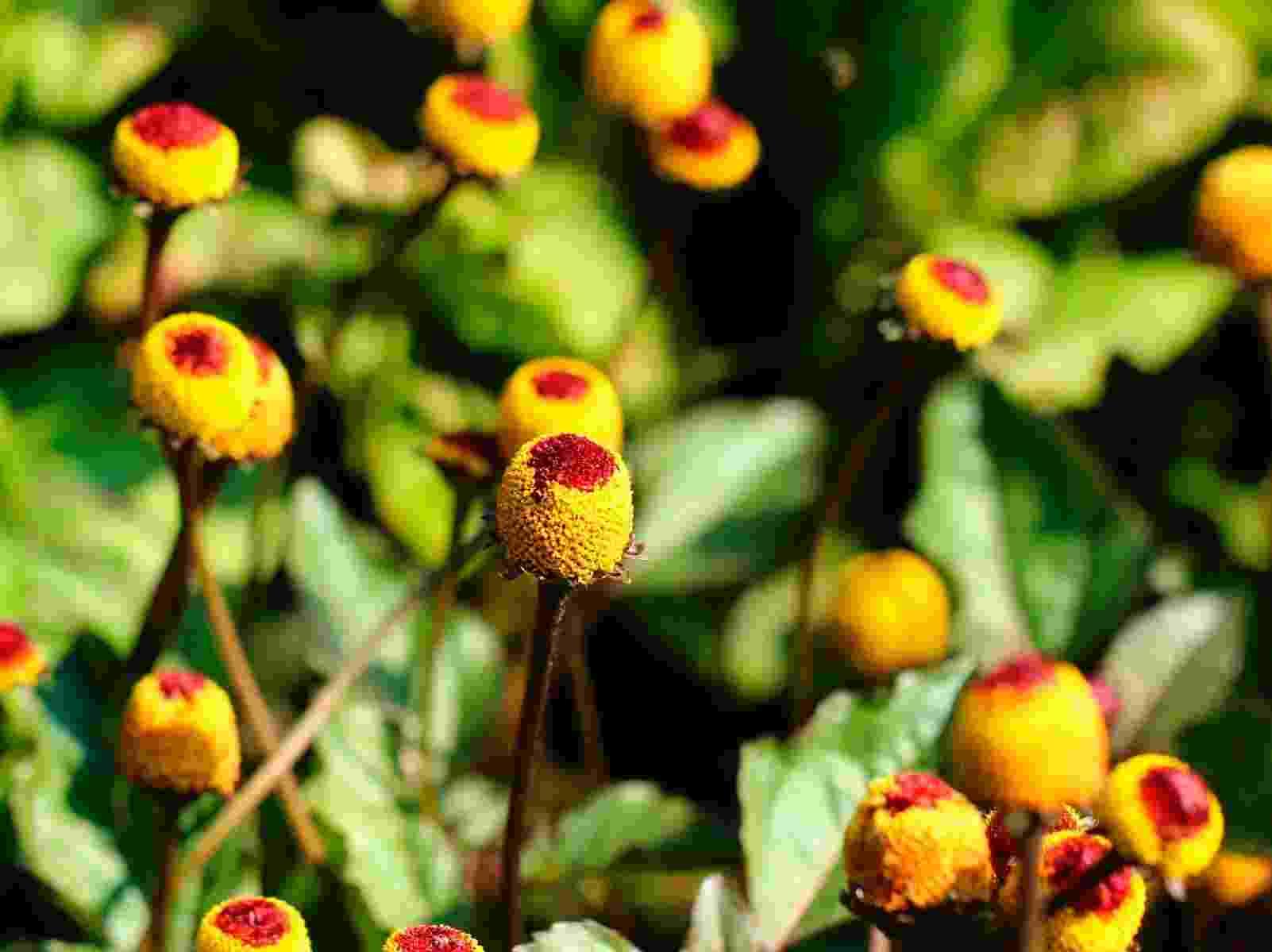 O jambu (Acmella oleracea) é uma hortaliça que pode ser consumida crua e em pratos cozidos, refogados ou assados. Também é usada como condimento e erva medicinal. Prefere clima quente e úmido, com temperaturas acima de 26°C, mas pode ser cultivada o ano todo em regiões de clima quente (também, em vasos de médio e grande porte), com iluminação solar direta ou sombra parcial com boa luminosidade. Gosta de solo fértil, bem drenado e com boa irrigação - Getty Images