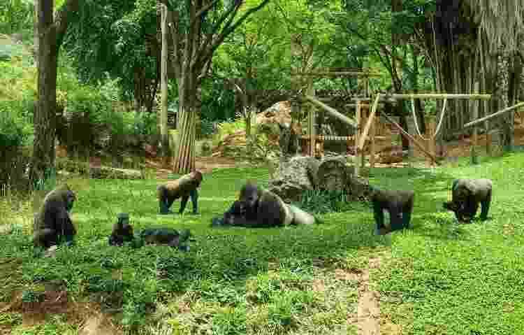 Área dos gorilas, no Zoológico de Belo Horizonte - Humberto Mello/Zoo BH - Humberto Mello/Zoo BH