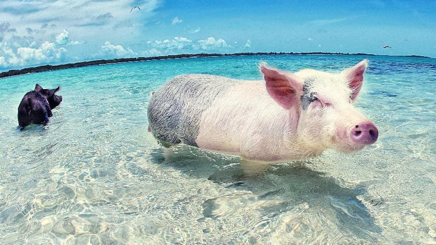 Visão inusitada: os porcos da ilha de Major Cay viraram atração turística nas Bahamas - Divulgação/Turismo das Bahamas