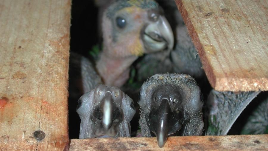 Filhotes de papagaio-verdadeiro vindos da Bahia confiscados na Via Dutra, em Guarulhos (SP) - Marcelo Pavlenco Rocha/SOS Fauna.