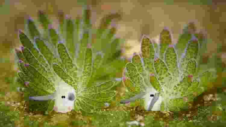 A Costasiella kuroshimae também é capaz de realizar cleptoplastia - Getty Images - Getty Images
