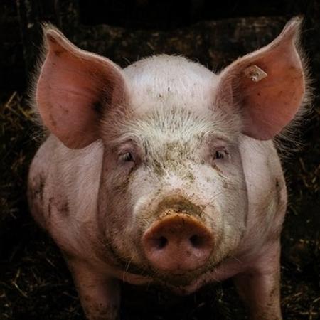 Print de carta aberta da vice-presidente de comunicação do Tinder mostra porco - Reprodução