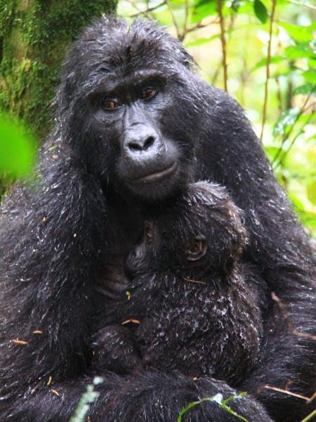 Mãe-gorila oferece colo ao seu bebê - Renê Castro/UOL