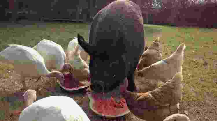 a porca edna e deborah pierce - Reprodução/The Dodo - Reprodução/The Dodo