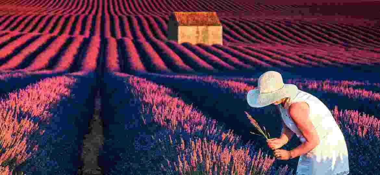 Campos floridos na Provence: a lavanda real, que só cresce aqui, é chamada de ouro azul - iStock