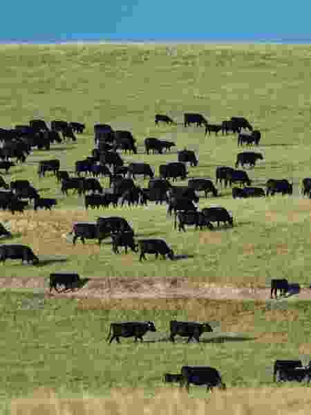 Pasto com Black Angus: raça é valorizada no churrasco - Mark Newman/Getty Images - Mark Newman/Getty Images