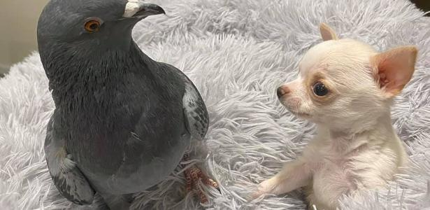 Herman e Lundy | Amizade entre pombo e cão chihuahua chama a atenção