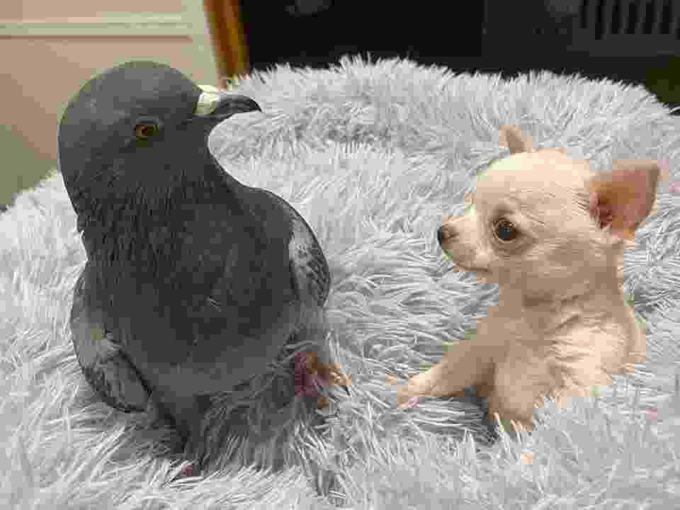 Herman, o pombo, e Lundy, o chihuahua, vivem em um abrigo de animais em Nova York - Reprodução/Facebook/The Mia Foundation