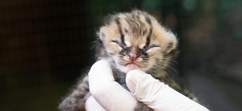 Gato-maracajá  filhote nasce na noite de Natal em Foz do Iguaçu (PR) - Sara Cheida/Itaipu Binacional