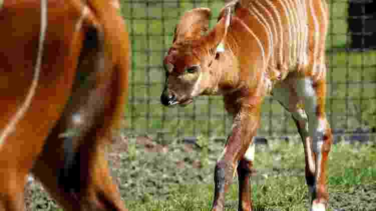 Filhote de bongo da montanha, nascido há duas semanas no Zoológico de Varsóvia, na Polônia - Reuters - Reuters