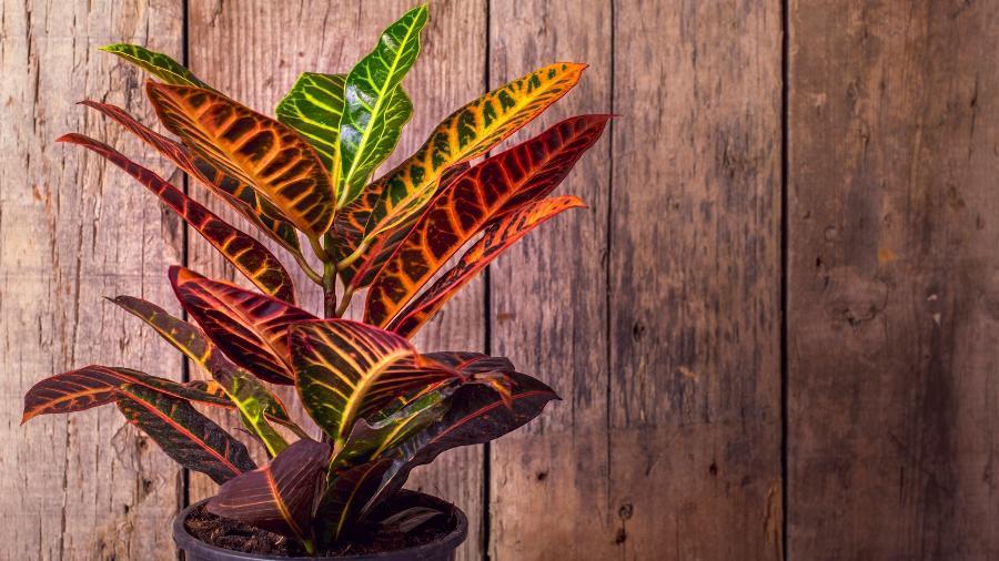 Com diversas variedades, o cróton é uma planta de fácil manutenção - Getty Images/iStockphoto