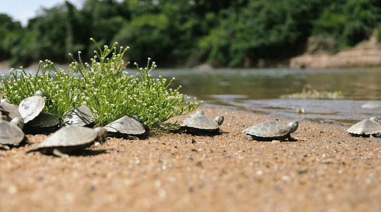 Tão logo saem dos ovos enterrados na areia da praia, os filhotes de tartaruga-da-amazônia buscam o caminho do rio - Luiz Baptista/Ibama - Luiz Baptista/Ibama