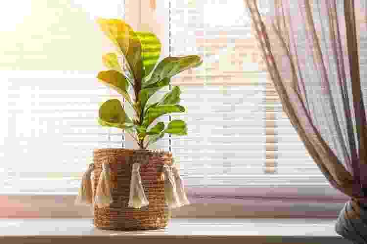 Ficus lyrata precisa de boa luminosidade - Getty Images/iStockphoto - Getty Images/iStockphoto