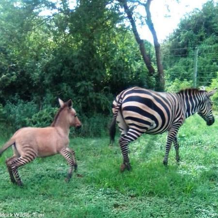 Zebra cruza com burro e dá à luz um pequeno zurro - Reprodução/Facebook