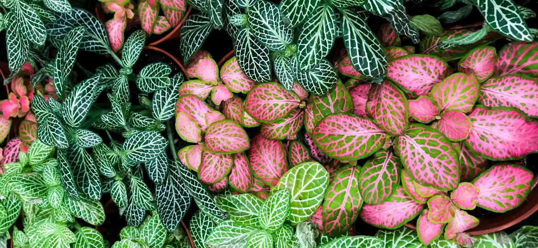 Fitônias (Fittonia albivenis) são fáceis de cuidar e aparecem em diversas cores - Getty Images/iStockphoto