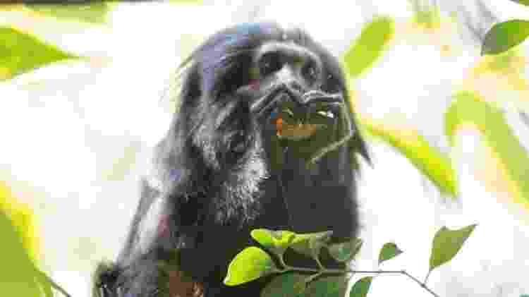 Acuado em áreas restritas de mata e com uma população diminuta décadas atrás, o mico-leão-preto recuperou-se graças a esforços contínuos. É hoje o símbolo da conservação no estado de São Paulo - Instituto de Pesquisas Ecológicas (Ipê) - Instituto de Pesquisas Ecológicas (Ipê)