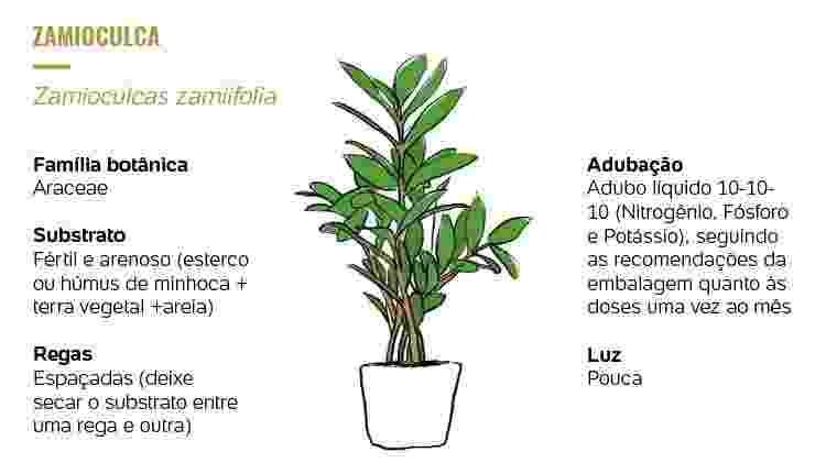Plantados Zamioculca -  -