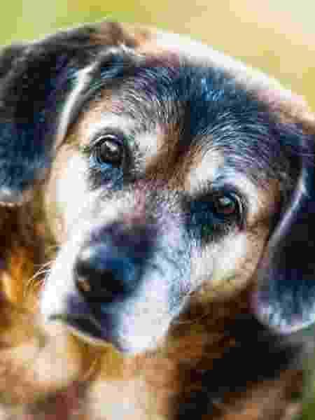 Estilo de vida e porte fazem diferença na expectativa de vida do cãozinho - Getty Images/iStockphoto - Getty Images/iStockphoto
