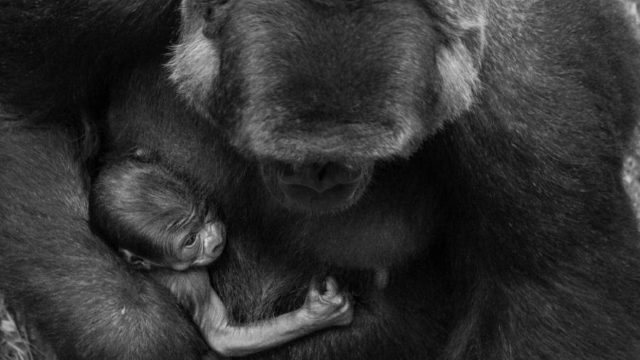 Primatas não-humanos podem contrair Covid-19. Zoológicos adaptam rotina para manter animais seguros - Herlandes Penha Tinoco/Zoo BH