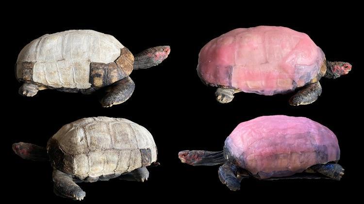 Antes e depois do tratamento do jabuti Foguinho na UFS - Centro de Aprendizagem e Manejo de Animais Silvestres/UFS - Centro de Aprendizagem e Manejo de Animais Silvestres/UFS