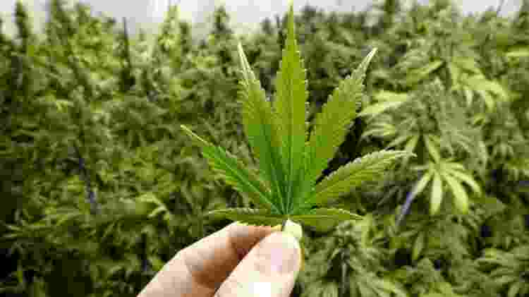cannabis, maconha - Getty Images - Getty Images