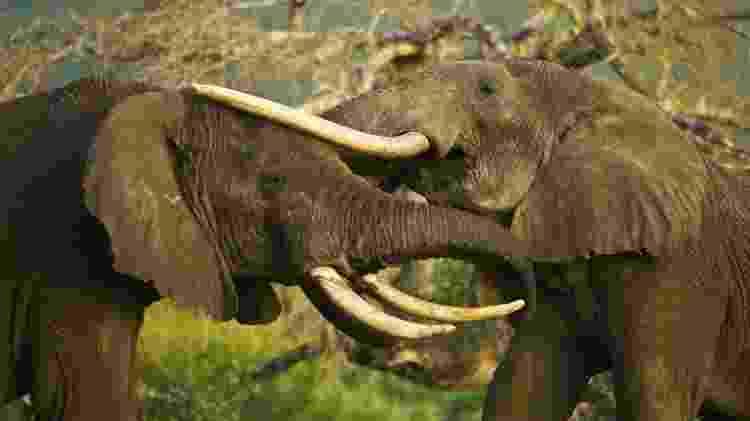 Elefantes no Amboseli National Park - Divulgação/ GreatPlainsConservation - Divulgação/ GreatPlainsConservation