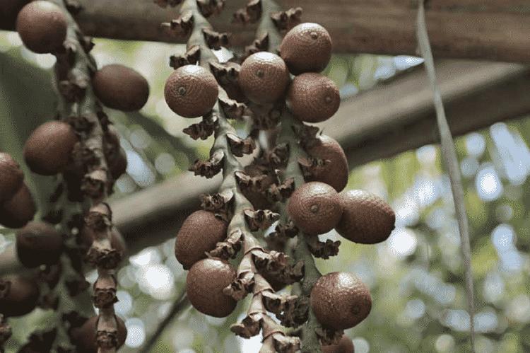 Frutos de buriti, espécie nativa do Cerrado coletada pelos Kalungas - Elder Miranda Jr./AQK - Elder Miranda Jr./AQK
