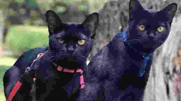 """Os gatos da raça Bombay foram importados dos Estados Unidos para """"atuarem"""" na próxima novela da Globo """"O Sétimo Guardião"""" - Patricia Rober/Divulgação - Patricia Rober/Divulgação"""