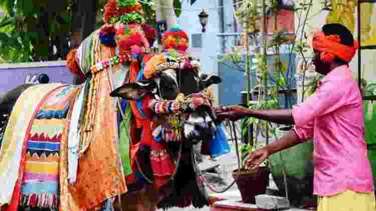 Festival Sankranti, em Machilipatnam, Índia; sacralização da vaca teve papel na formação do país - GETTY IMAGES/SAI KAMAL CHAND/EYEEM - GETTY IMAGES/SAI KAMAL CHAND/EYEEM