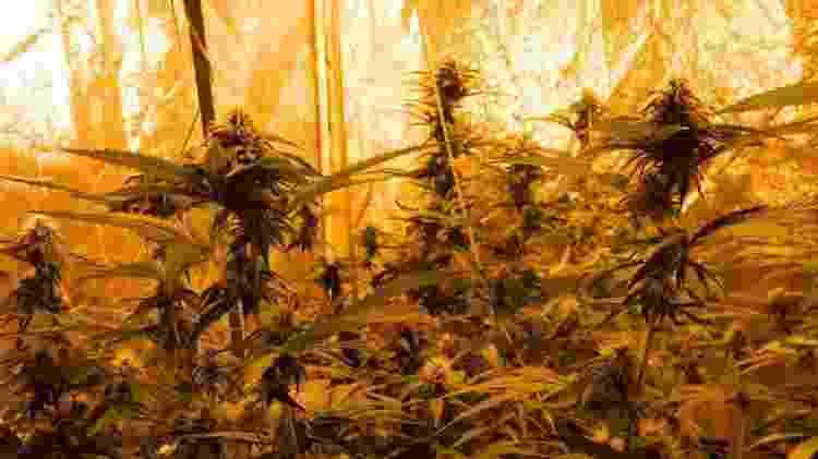 Cannabis plantadas por Gilberto Castro - Reprodução/Facebook