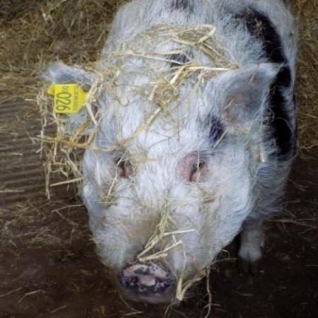Kevin, o porco, está procurando um novo lar na Escócia - Reprodução/SPCA