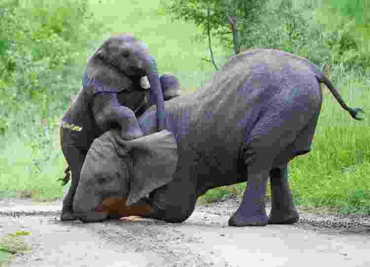 Especialistas estimam que é melhor tratar em separado as duas espécies de elefantes africanos - Getty Images - Getty Images