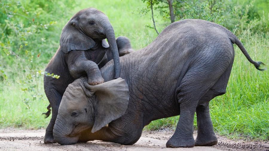 Anuncio ocorre após duas espécies de elefantes africanos terem risco de extinção atualizados - Getty Images