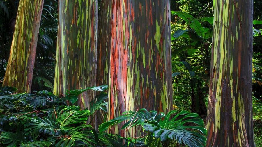 Essas árvores se transformam em arco-íris quando suas cascas se soltam