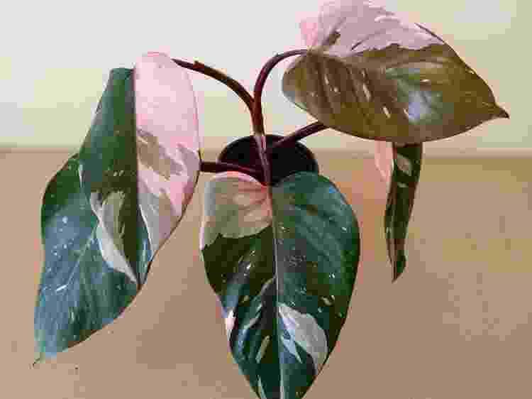 A espécie FIlodendro-pink, que possui mistura entre as tonalidades verdes e rosa nas folhas - Reprodução/Pinterest - Reprodução/Pinterest