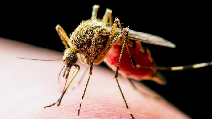 Mosquito do gênero Culex, um dos três especializados em morder humanos - iStock