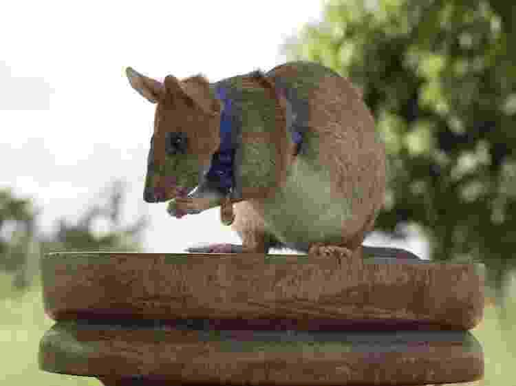 Magawa foi o primeiro rato a receber a medalha de honra nos 77 anos de existência da PDSA. - Apopo - Apopo