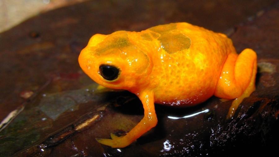 """Nova espécie chamada """"Sapinho-pingo-de-ouro"""" é descoberta na Mata Atlântica, em São Paulo - Leo Malagoli"""