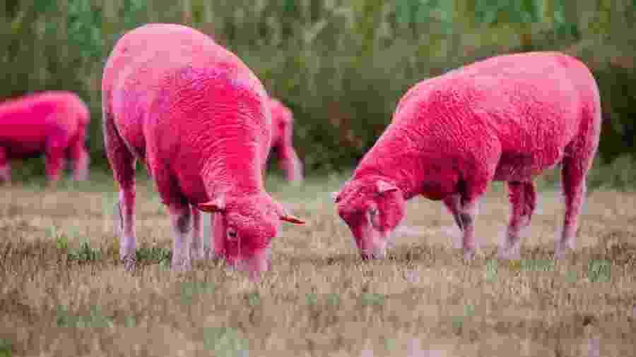 Ovelhas pintadas de rosa no Festival Latitude, no Reino Unido - Divulgação