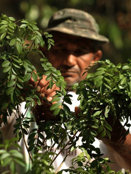 Jovenilio Souza Cardoso, cooperado da COEX Carajás, retirando folhas de jaborandi - Divulgação/Grupo Centroflora