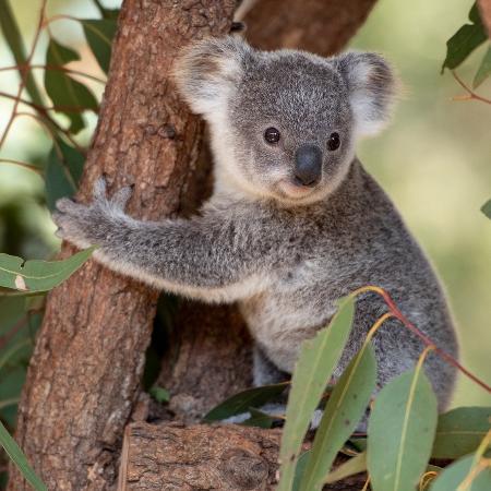 Descubra o significado de sonhar com coala - iStock