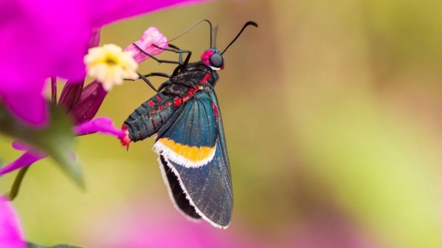 Mysoria, fotografado na Colômbia: gênero neotropical de firetips na família Hesperiidae - Jorge/VW Pics/Universal Images Group via Getty Images