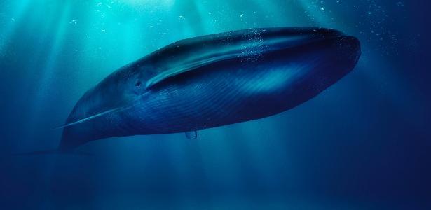 A baleia-azul pode chegar a pesar 177 toneladas, sendo maior animal do mundo