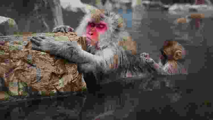 No Japão, os macacos da neve também têm suas piscinas termais  - Getty Images/iStockphoto