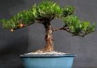 Confira lojas físicas e virtuais que são especializadas em bonsai - Divulgação