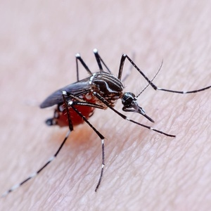 Aedes aegypti, mosquito transmissor da febre amarela