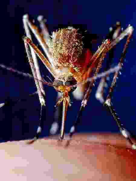 O pequeno mosquito é 180 vezes mais letal que cobras, hipopótamos e tubarões - iStock