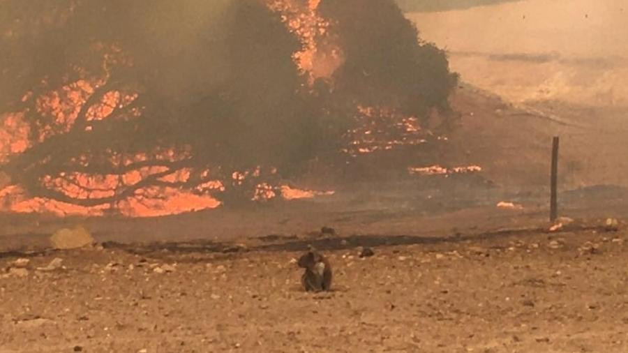 Coala observa incêndio florestal em Kangaroo Island, nesta quinta (9/01) - Reuters