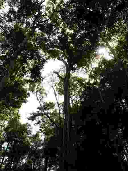Árvore dentro da área de manejo da Floresta Nacional do Tapajós - Coomflona/divulgação - Coomflona/divulgação