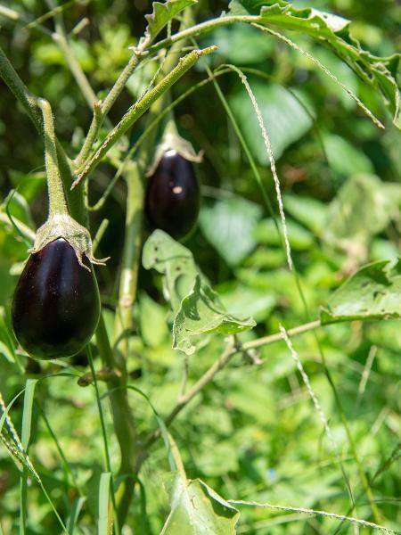 Berinjelas em horta de agrofloresta no interior de SP - Flavio Moraes/UOL